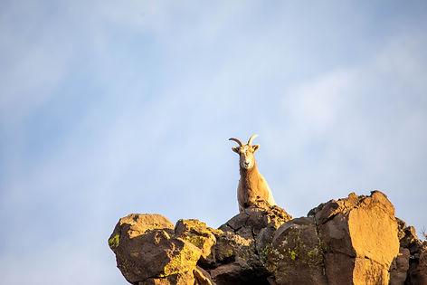 big-horn-sheep-greer-white-mountains-ar