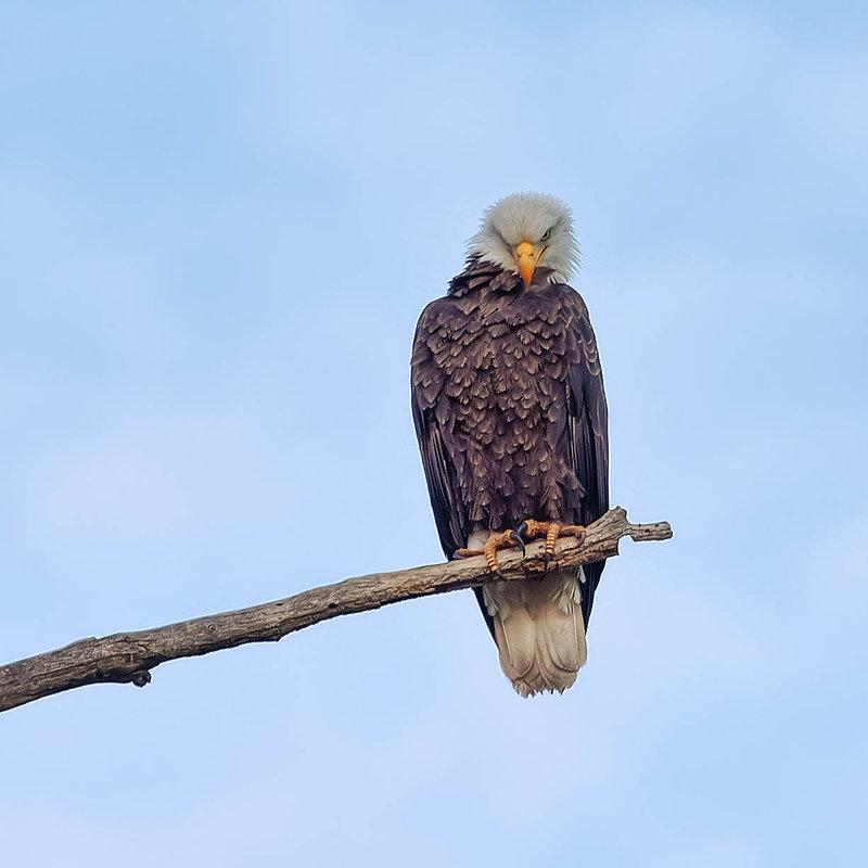 fools eagle2 at sunrise.jpg