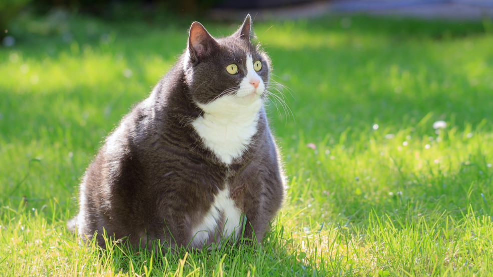 How To Help Your Cat Lose Weight