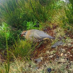 Watching a 'Red-Legged Partridge' somewhere between Areeiro and Ruivo Peaks__RUNNiNG TOURS _ MADEiRA