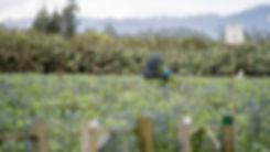 worker-in-eryngium-field.jpg