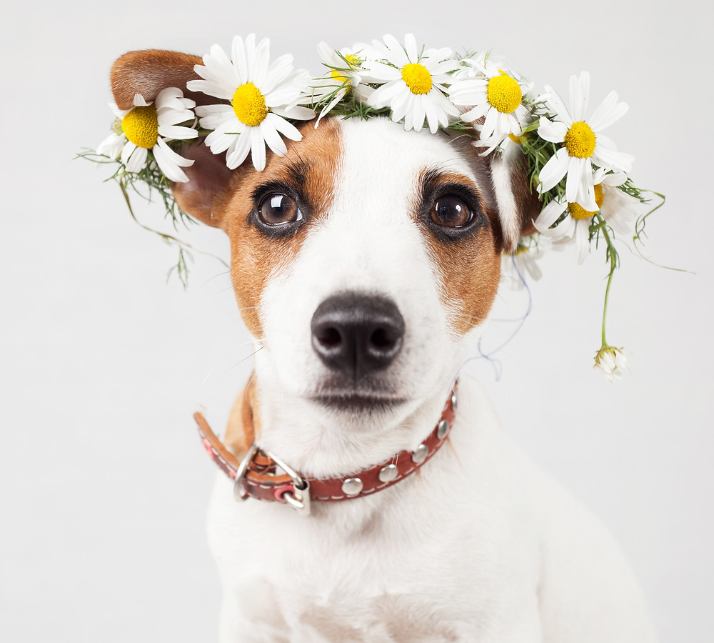 Dog flower crown
