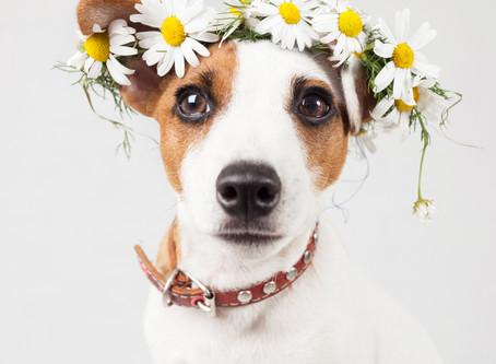 Dog of Honour!