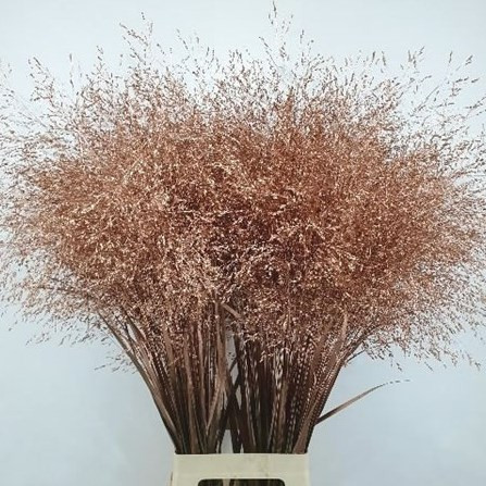 Panicum grass