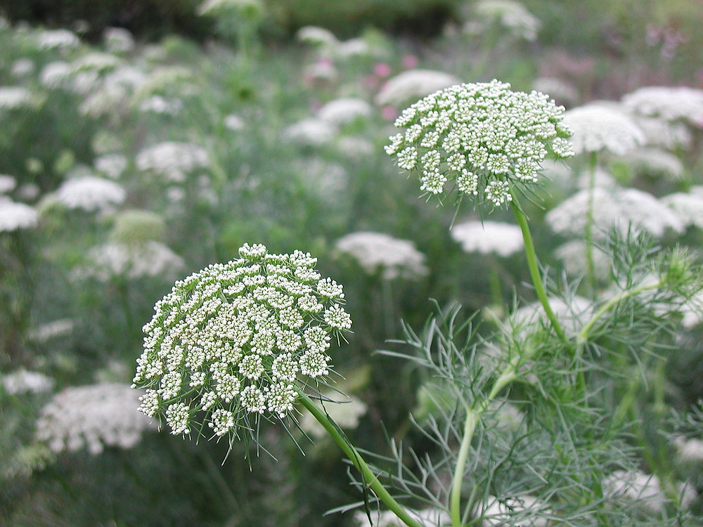 Cow parsley, white flower for wedding