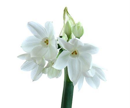 Paper white Narcissi