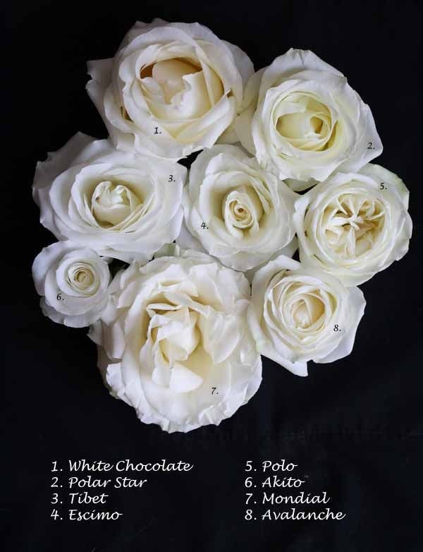 White rose varieties