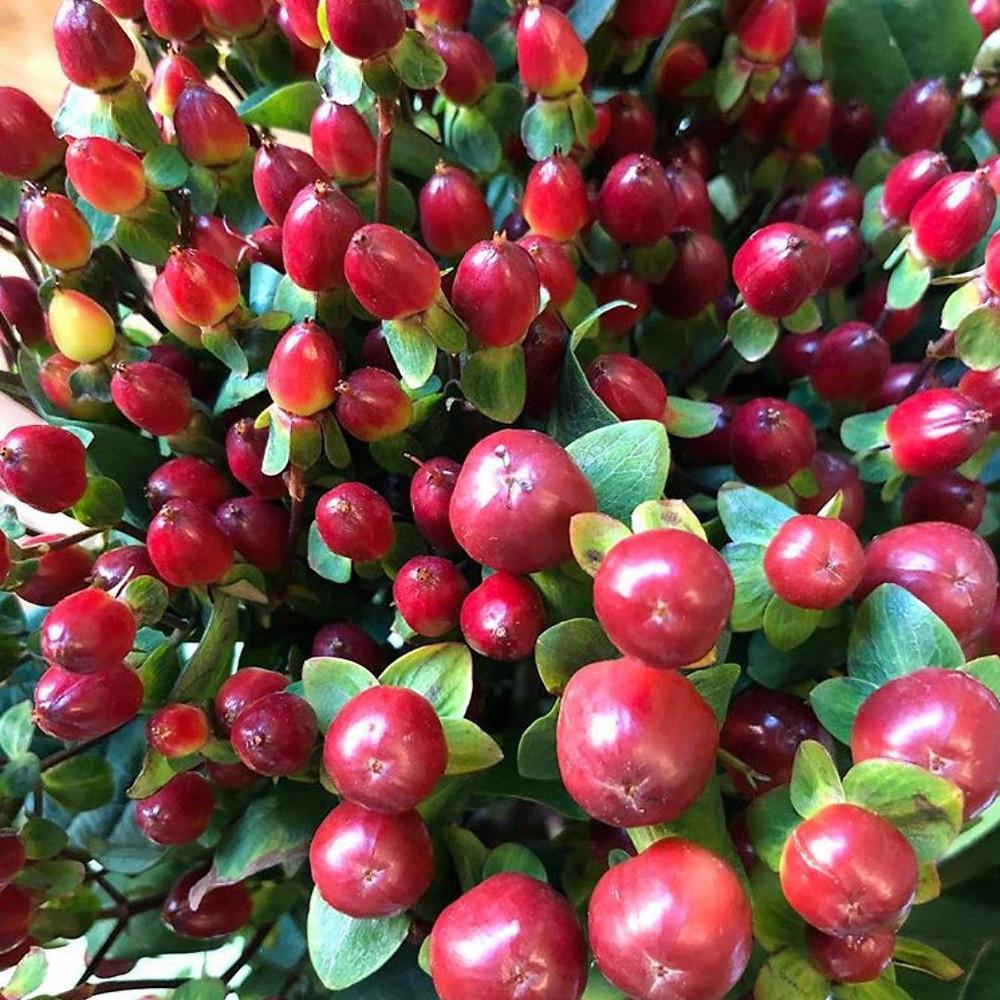 Hypericum berries