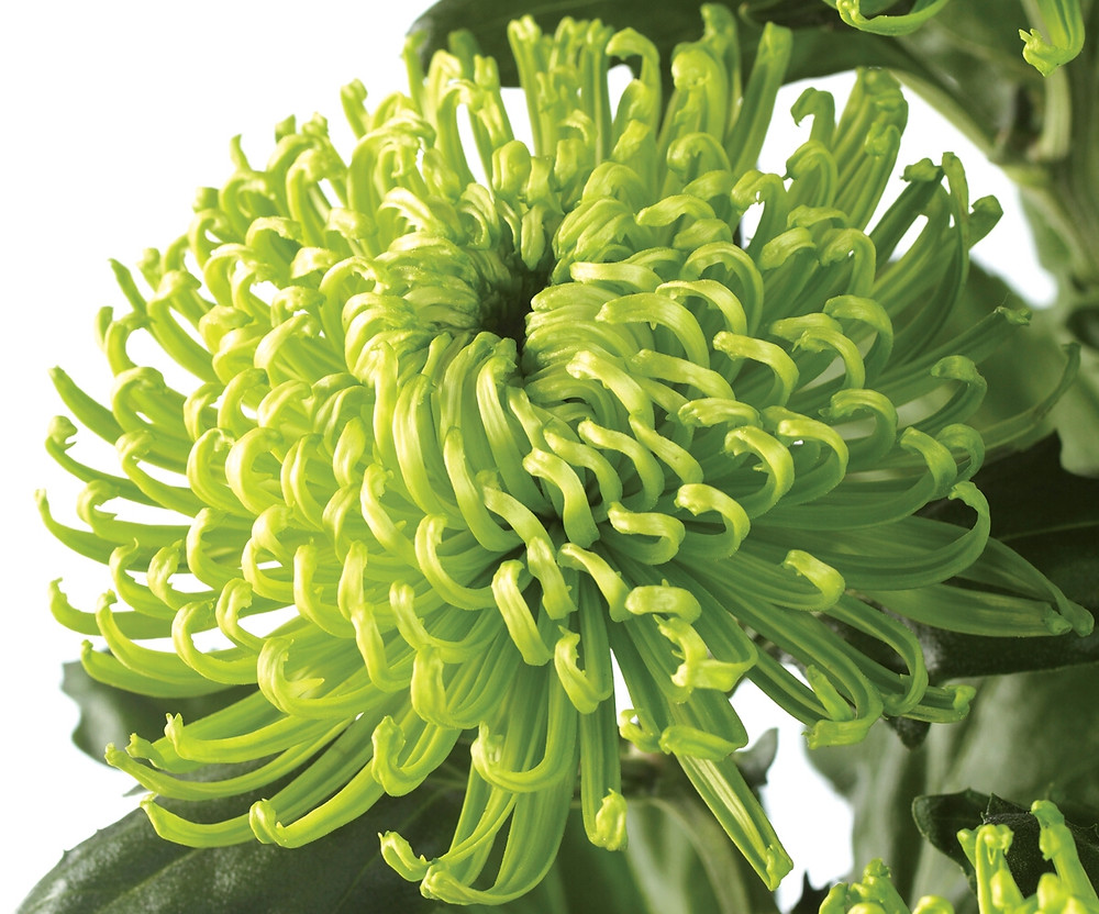 Chrysanthemum green