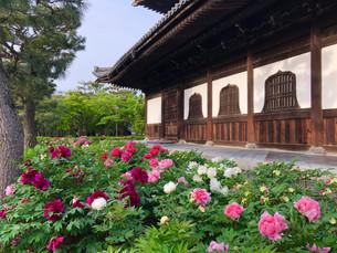 켄닌지(建仁寺)의 모란
