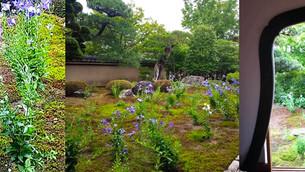 텐토쿠인(天得院)의 도라지