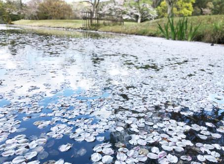 다이카쿠지(大覚寺)의 하나이카다(花筏)