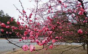 유메야카타에서 가까운 매화꽃 명소! 교토교엔(京都御苑)