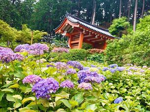 미무로토지(三室戸寺)의 자양화(紫陽花)