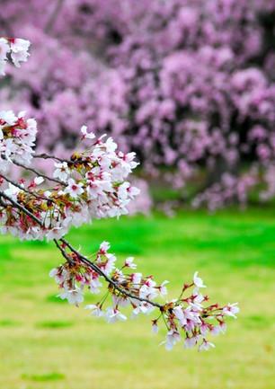벚꽃무늬(桜柄)의 기모노