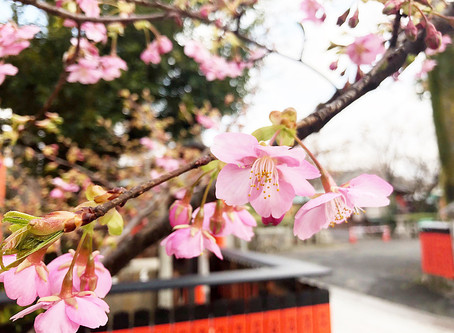 쿠루마자키(車折) 신사의 카와즈자쿠라(河津桜)