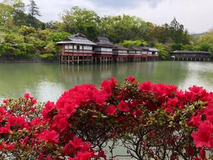 나가오카 텐만구(長岡天満宮)의 키리시마 철쭉