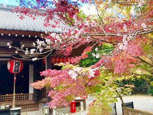 세키잔젠인(赤山禅院)의 후단자쿠라(不断桜)