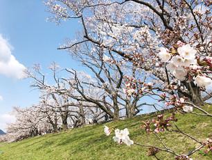 벚꽃의 명소「야와타(八幡)의 세와리테이(背割堤)」