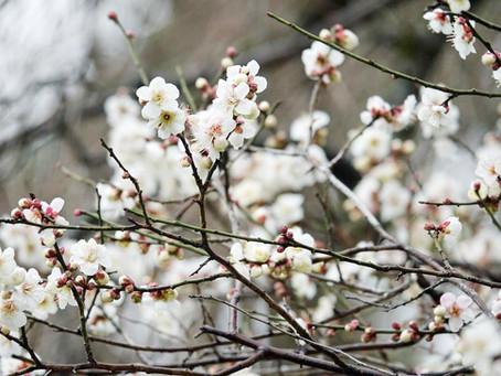 니조성(二条城)의 매화꽃(梅の花)