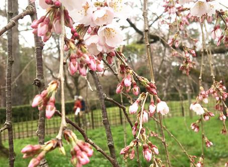교토교엔(京都御苑) 코노에(近衛)의 이토자쿠라(糸桜)