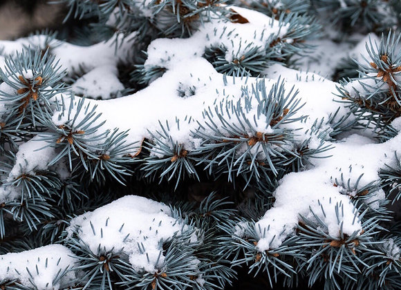 Frosted Pine Melts