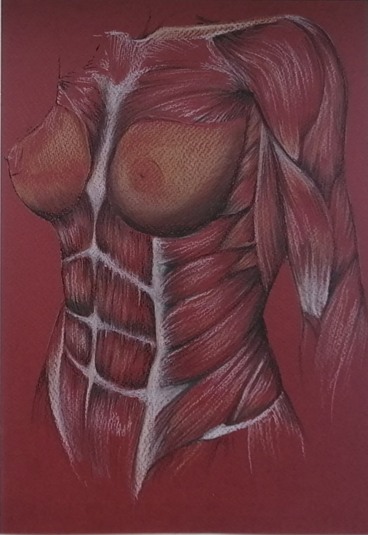 Anatomical Chest and Abs Study