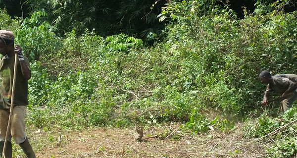 Clearing of the invasive Devil Weed.jpg