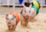 pig races2.jpg