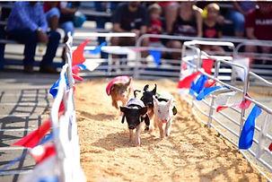 pig races.jpg