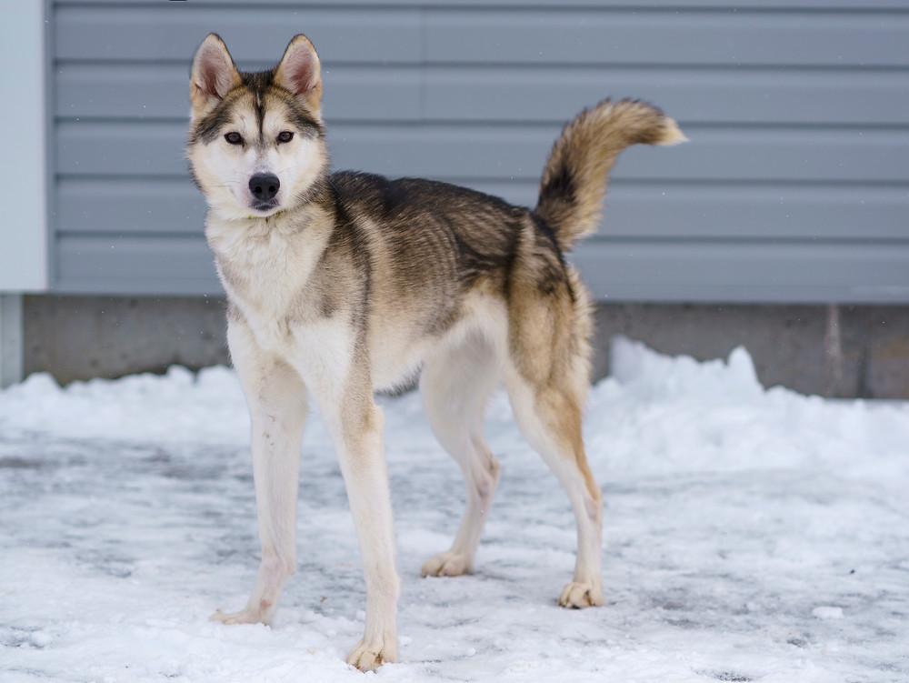 West Island Dog Adoption ANIMATCH THINSEL-FEMALE- HUSKY 2 YEARS OLD