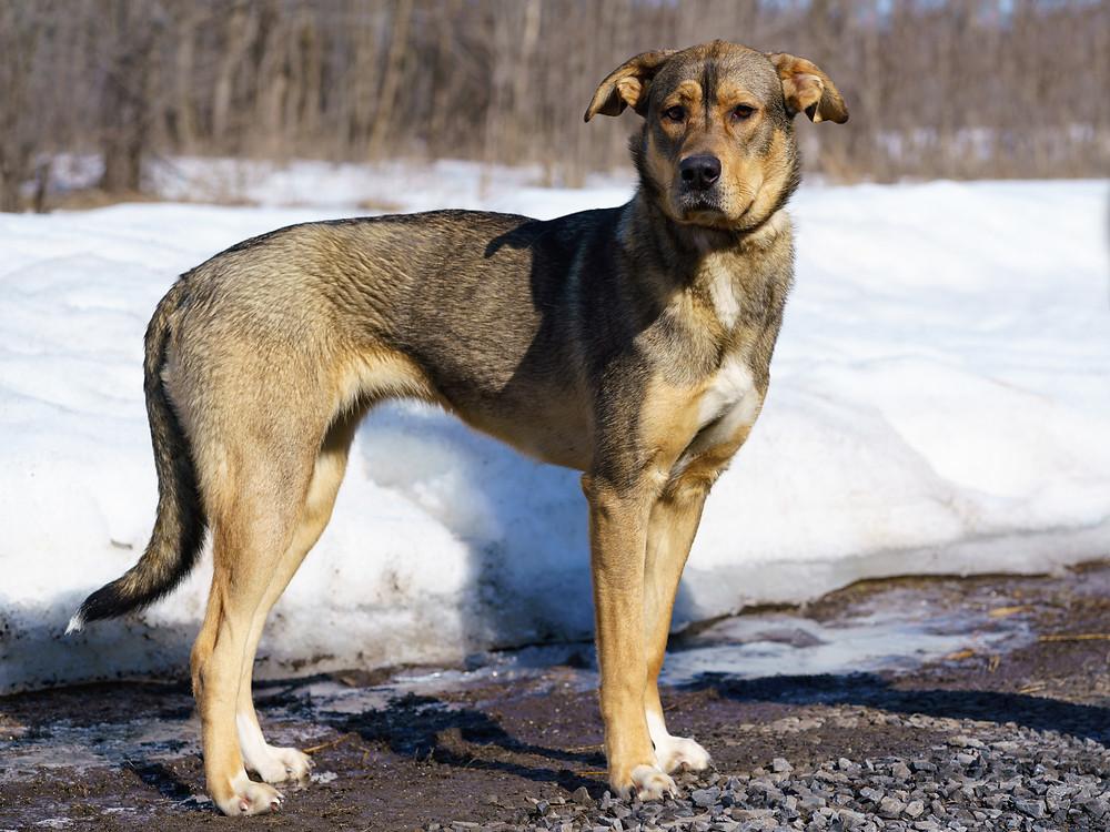 West Island Dog Adoption ANIMATCH Koda female husky puppy