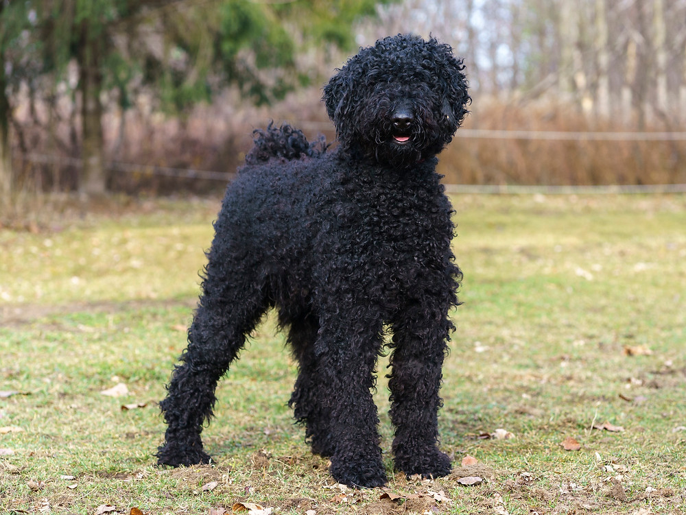 West Island Dog Adoption ANIMATCH Lilo male standard poodle