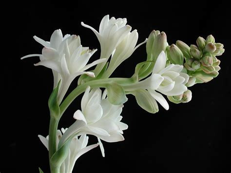 Tuberose Blossoms