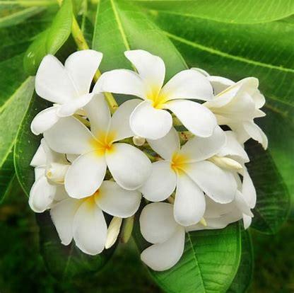 Jasmin Blossoms
