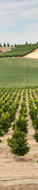 Citrus Grove of Sicily