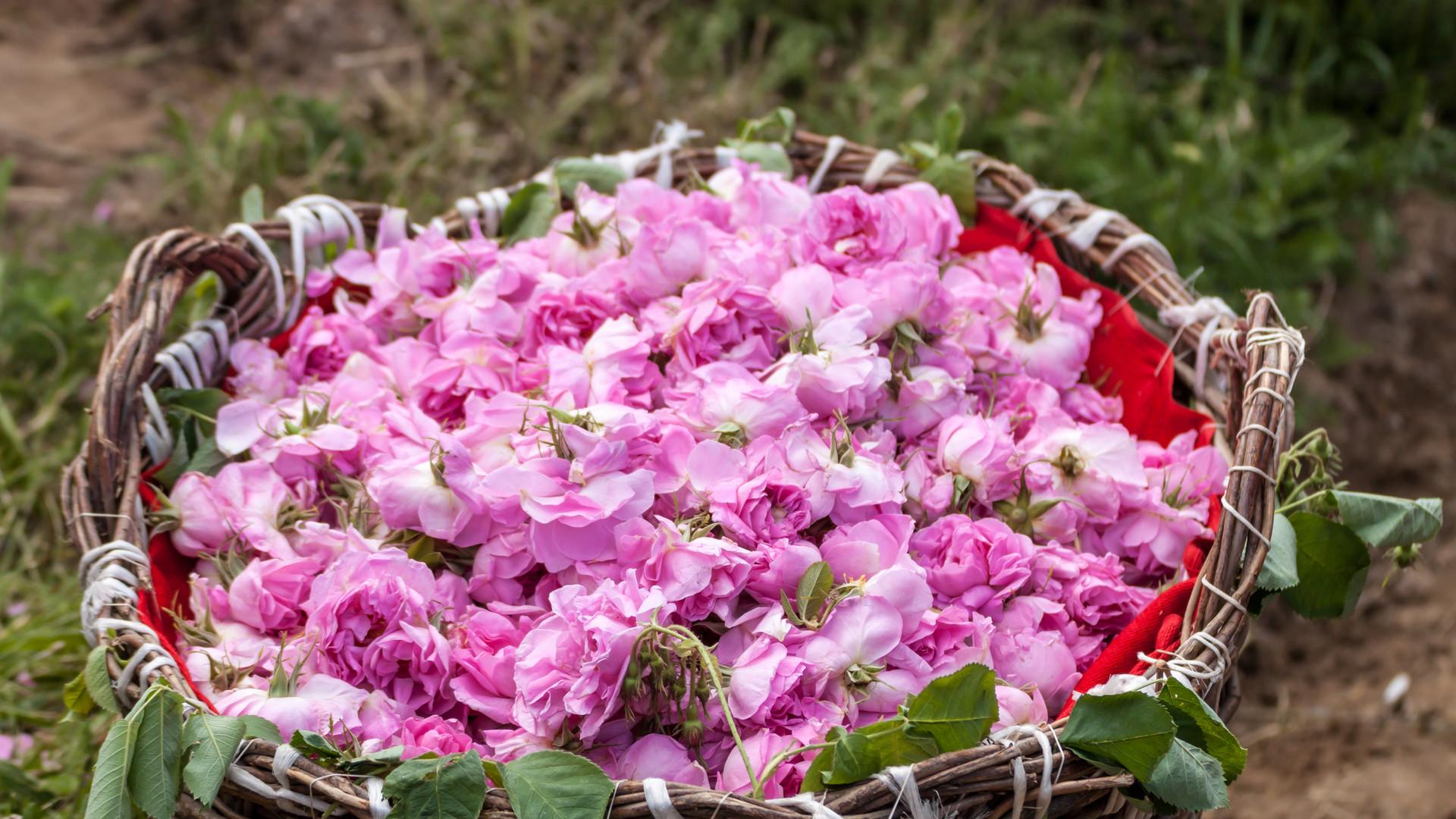 Bushel of Bulgarian Rose