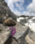Lila Blumen Bergtour Obernberger Tribulaun, Tirol