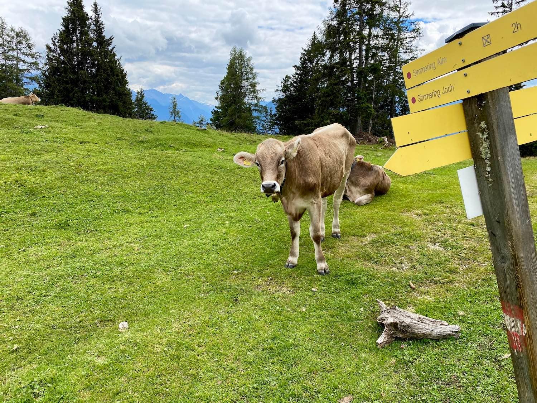 Kühe bei der Haiminger Alm, Bike & Hike Tschirgant, Tirol