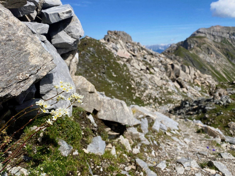 Blumen am Wandersteig, Hammerspitze Tirol