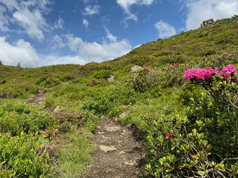 Wandersteig mit Bergrosen, Bergtour Largoz, Tirol