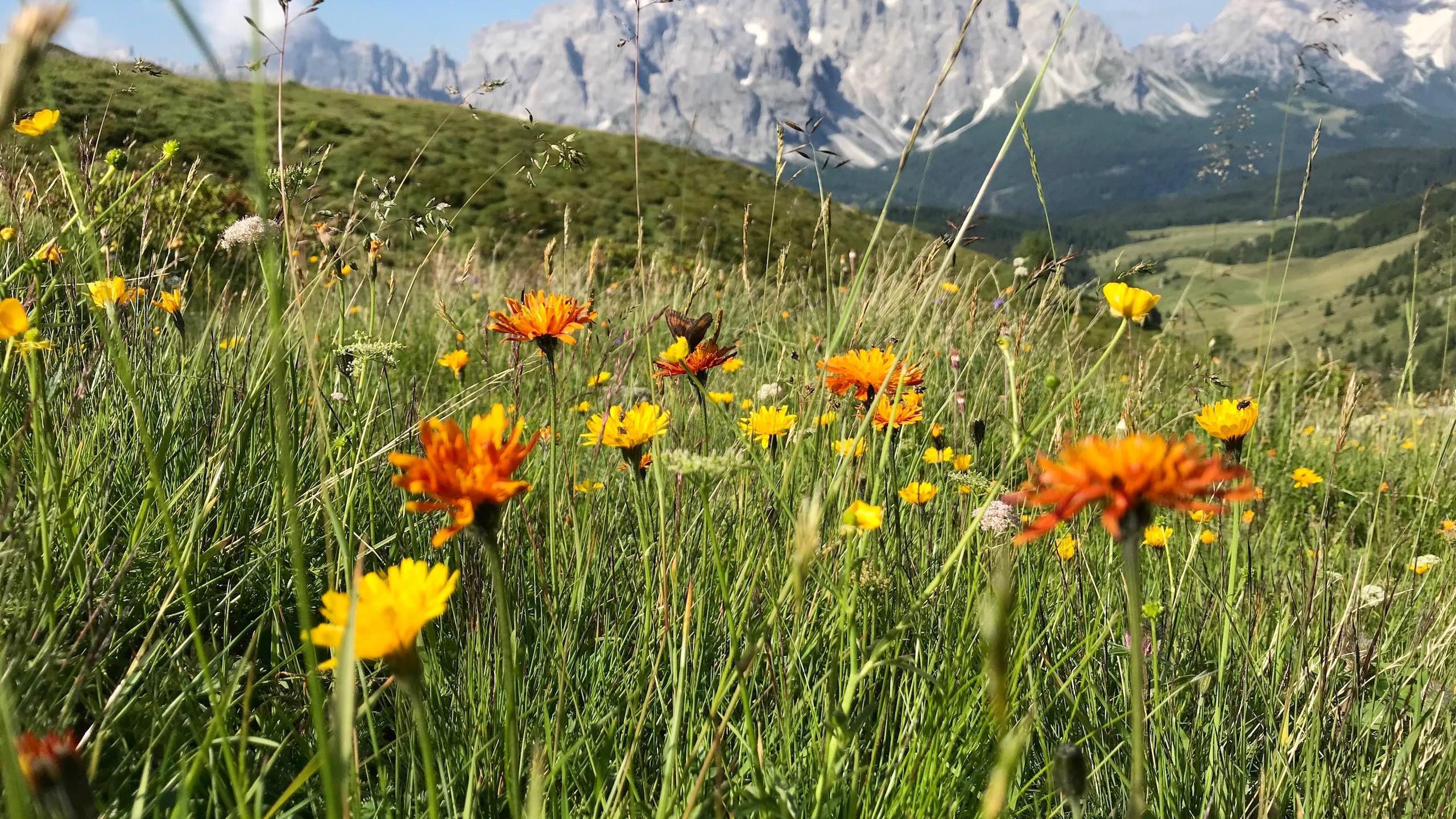 Blumenwiesen vor den Sextener Dolomiten, Knieberg