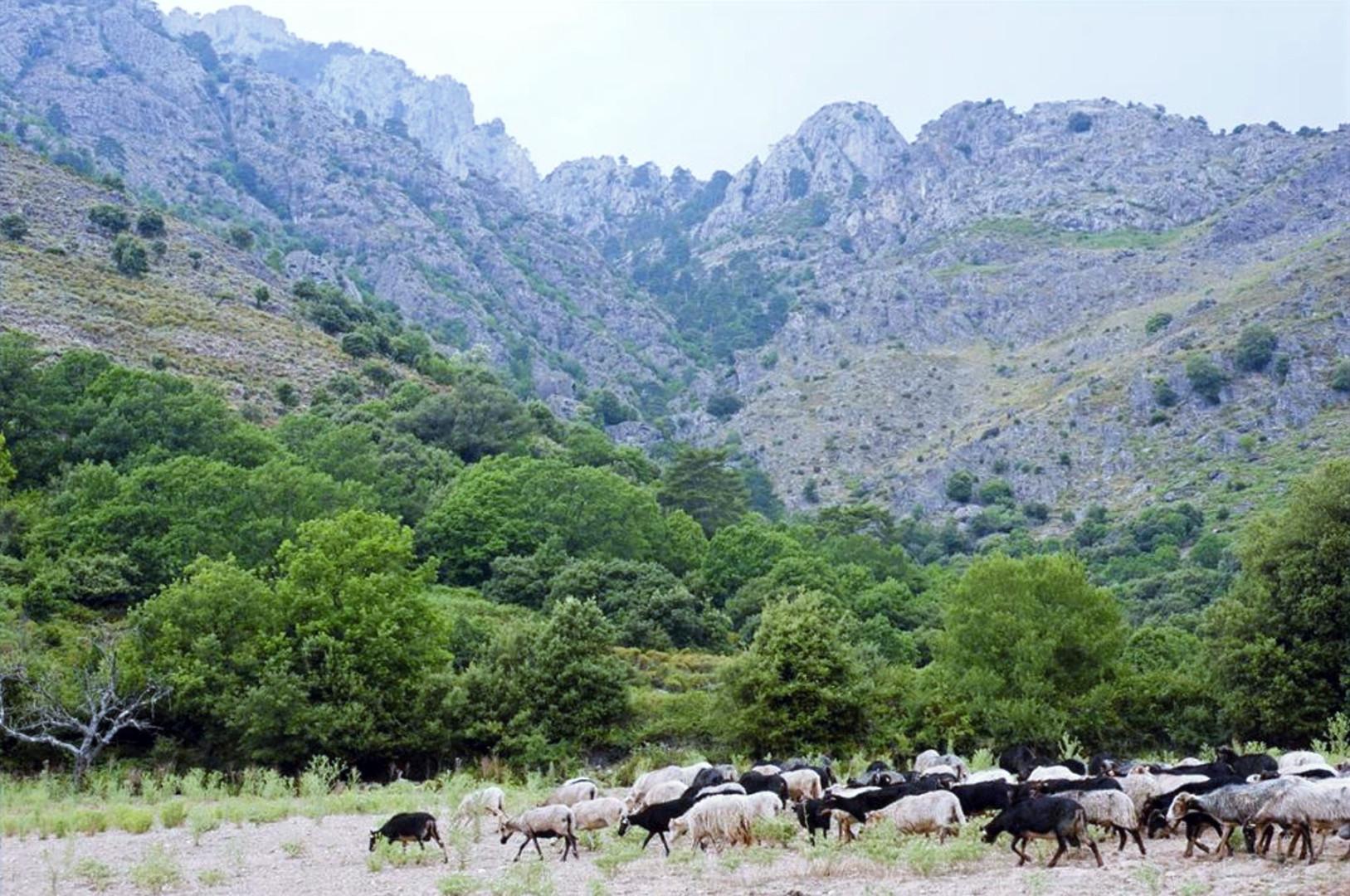 troupeau camping saint pancrace corte