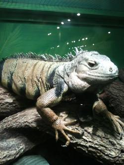 Meet Iggy