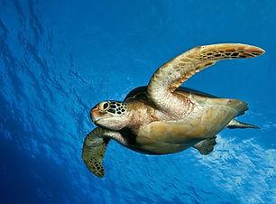 6883437-sea-turtle-wallpaper.jpg
