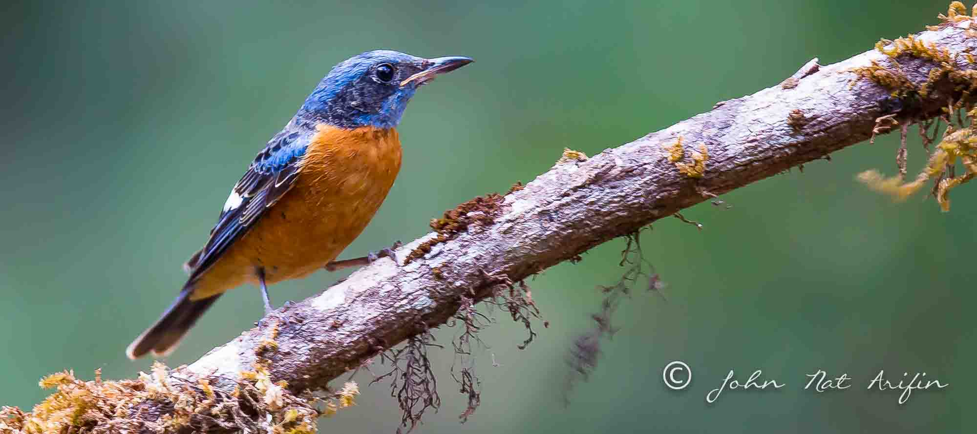 Blue capped Rock Thrush-1892.jpg