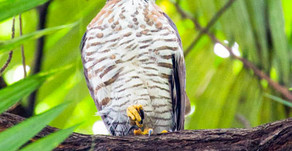 Crested Goshawk, Orchard Road Singapore
