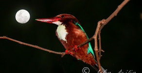 White-throated Kingfisher with full moon in Singapore