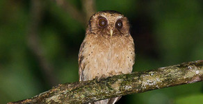 Reddish Scops Owl- Birds of Borneo