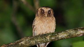 Reddish Scops Owl- Birds of Borneo